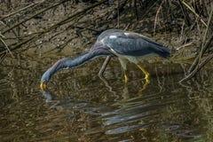 Chasse de héron de Tricolored dans les eaux peu profondes Images libres de droits