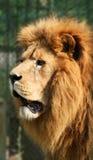 Chasse de lion Images libres de droits