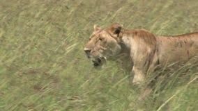 Chasse de lion banque de vidéos