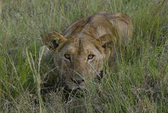 Chasse de lionne photographie stock