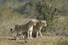 Chasse de lionnes image libre de droits