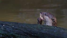 Chasse de loutre et de consommation poissons tout près un identifiez-vous l'étang banque de vidéos