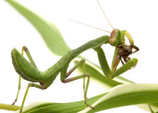 Chasse de Mantis d'isolement sur le blanc Photos stock
