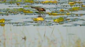 Chasse de merle à ailes rouges/alimentation sur les protections de lis dans un lac pendant l'été - région de faune de prés de Cre photos libres de droits