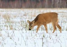 Chasse de photo pour des cerfs communs (Capreolus). Photographie stock