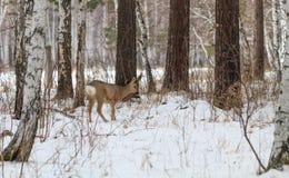 Chasse de photo pour des cerfs communs (Capreolus). Images stock