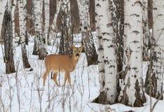 Chasse de photo pour des cerfs communs (Capreolus). Images libres de droits
