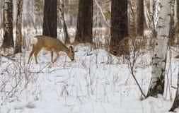 Chasse de photo pour des cerfs communs (Capreolus). Image libre de droits