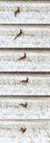 Chasse de photo pour des cerfs communs (Capreolus). Photos libres de droits