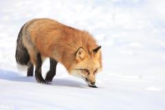 Chasse de renard rouge dans la neige images libres de droits