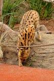 Chasse de Serval - Lepitailurus Photographie stock libre de droits