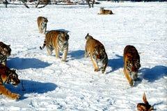 Chasse de tigre sibérien Photographie stock