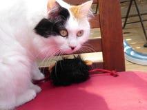 Chasse de Van cat de turc Image stock
