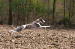 Chasse de Whippet Photo stock