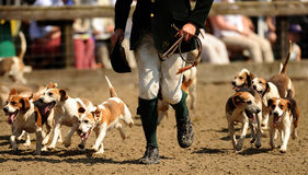Chasse des chiens Photos stock