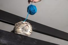 Chasse drôle à chat pour la boule bleue Images stock