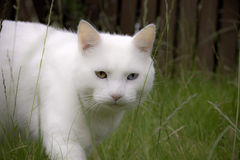 Chasse du chat blanc Photographie stock