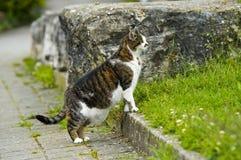 Chasse du chat domestique Images libres de droits