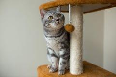 Chasse et jouer gris droits écossais mignons de chat Photo stock