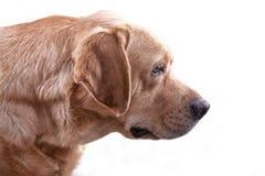 Chasse jaune de Labrador Photos libres de droits