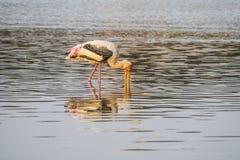 Chasse peinte de cigogne dans l'eau et réflexion dans l'étang Photos stock