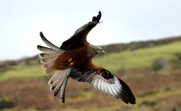 Chasse rouge de cerf-volant images stock