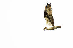Chasse solitaire de balbuzard sur l'aile sur un fond blanc Photos stock