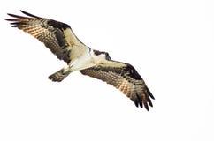 Chasse solitaire de balbuzard sur l'aile sur un fond blanc Image libre de droits