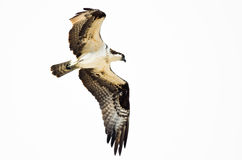 Chasse solitaire de balbuzard sur l'aile sur un fond blanc Photographie stock libre de droits