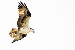 Chasse solitaire de balbuzard sur l'aile sur un fond blanc Photo libre de droits