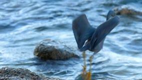 Chasses Pacifiques à héron de récif pour des poissons clips vidéos