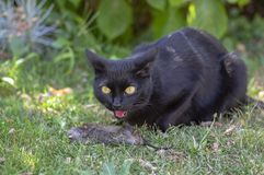 Chasseur fier de chat noir, souris morte dans l'herbe, bête foncée heureuse images stock