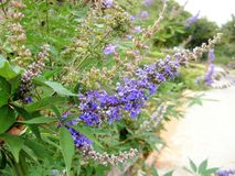 Chaste tree Vitex agnus-castus. Called Vitex, Chasteberry, Abraham`s balm, Lilac Chastetree and Monk`s pepper also. stock photo
