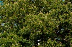 Chastnut tree Stock Image