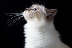 Chat à cheveux longs blanc de Brown recherchant images stock