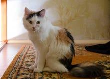 Chat à la maison Photos libres de droits
