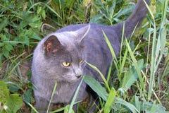Chat à la maison gris pelucheux avec les yeux jaunes marchant dans l'herbe regard photos stock