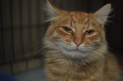 chat à tête rouge Photographie stock