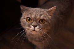 Chat écossais dans la chambre Photo libre de droits