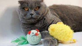 Chat écossais de pli se trouvant sur le plancher avec leurs jouets préférés image libre de droits