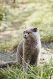 Chat écossais heureux de pli dans la cour photographie stock libre de droits
