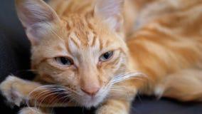 Chat égyptien rouge se trouvant sur la chaise et regardant directement dans la caméra Mouvement lent banque de vidéos