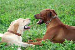 Chat. Of rhodesian ridgeback and golden labrador Stock Image