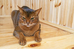 Chat abyssinien Image stock