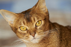Chat abyssinien Photographie stock libre de droits