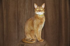 Chat abyssinien Photo libre de droits