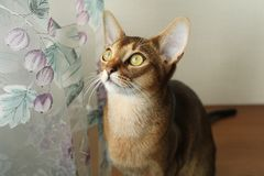 Chat abyssinien Photographie stock