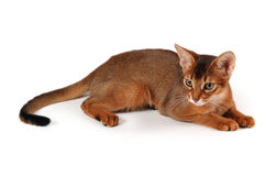 Chat abyssinien rouge Photo libre de droits