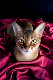 Chat abyssinien vermeil Photographie stock libre de droits