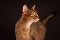 Chat abyssinien vermeil sur le fond brun noir Images stock
